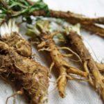 Польза и вред листьев, корня, цветков цикория