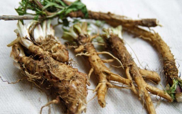 корень цикория польза и вред