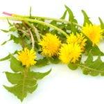 Польза и вред корней, листьев, цветков одуванчика