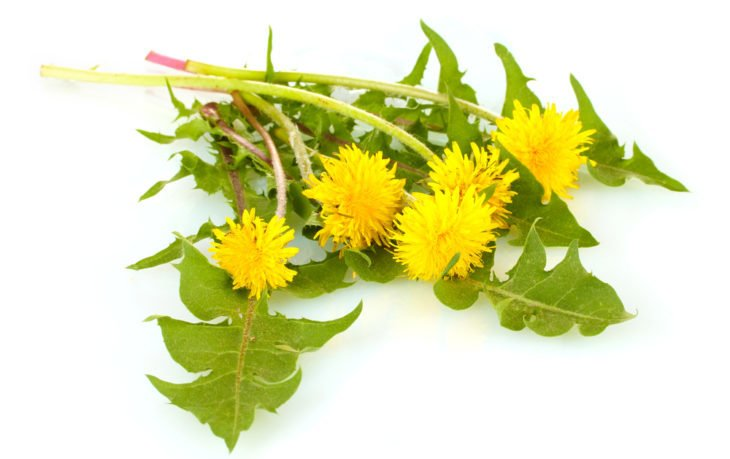листья одуванчика польза вред