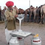 Польза и вред верблюжьего молока для женщин, мужчин, беременных