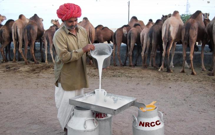 верблюжье молоко польза и вред