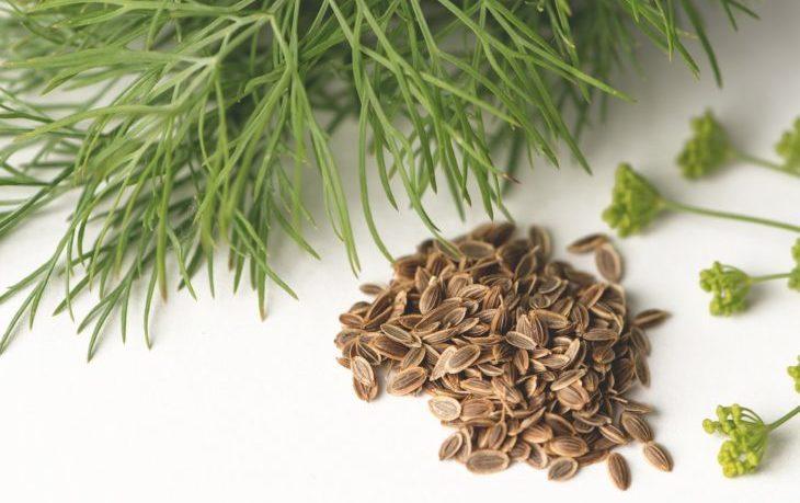 семена укропа польза и вред