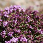 Польза и вред травы чабрец для организма женщины
