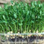 Польза и вред гороха сушеного, проростков, микрозелени