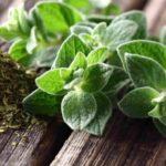 Противопоказания, польза и вред травы душицы для здоровья