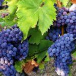 Состав, калорийность, польза и вред винограда для здоровья