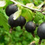 Польза и вред ягод крыжовника: красного, черного, зеленого, в соке, компоте, чае, варенье