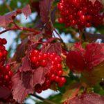 Противопоказания, польза и вред ягод красной калины для здоровья организма человека