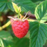 Польза и вред листьев и косточек малины для здоровья организма человека
