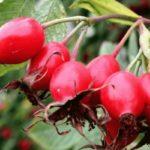 Противопоказания, польза и вред плодов, цветов, листьев, корней шиповника