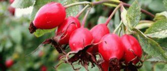 плоды шиповника польза и вред