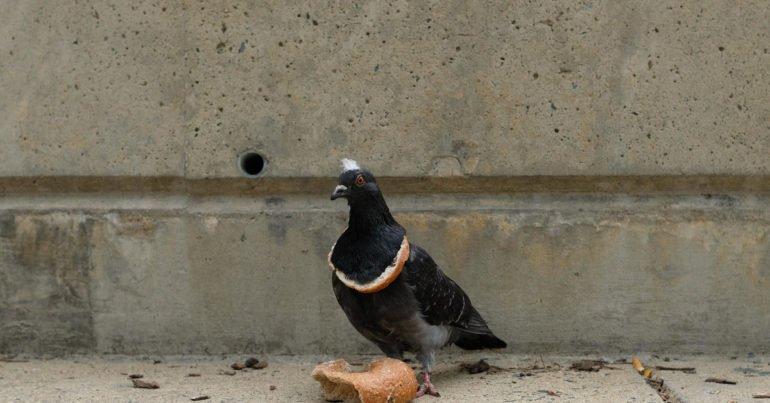 голубей нельзя кормить черным хлебом