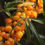 Противопоказания, польза и вред ягод облепихи для здоровья организма человека